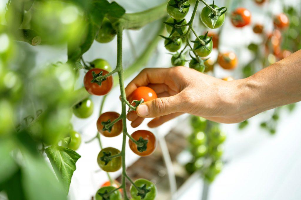 ネーバーズファームトマト